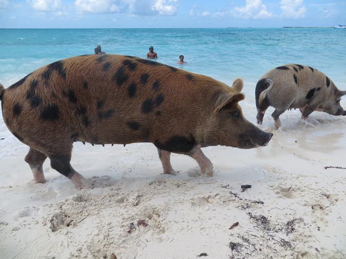 Schwimmende Schweine am Pig Beach auf den Bahamas